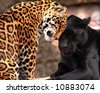 Two leopards showing affection - stock photo