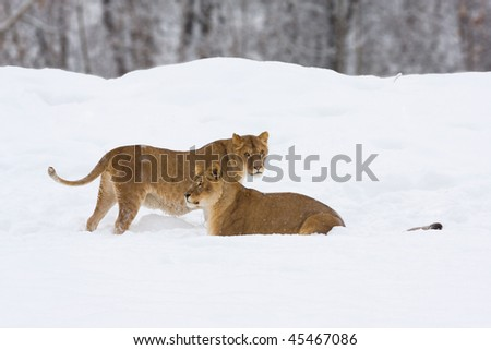 two lioness in snow - profile - stock photo