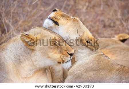 Two lionesses (panthera leo) cleaning each other lying in savannah in South Africa - stock photo