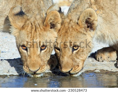 Two lions drinking from a waterhole in Ongava Private Reserve - stock photo