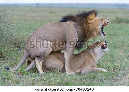 Two lions mating in the Masai Mara Game Reserve in Kenya, East Africa - stock photo