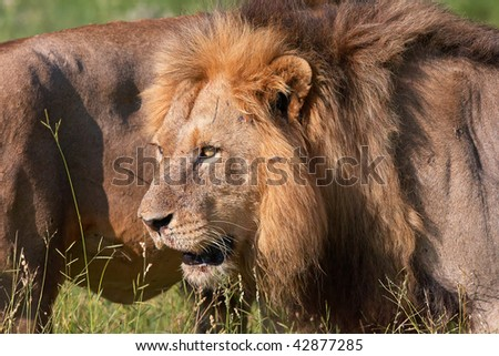 Two Lions (panthera leo) standing next to each other in savannah in South Africa - stock photo