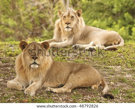Two Lions - Selective Focus - stock photo