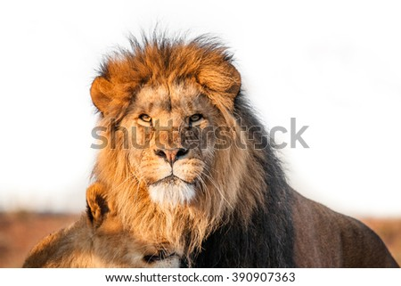 Two lions together on the savannah in the sunlight - stock photo