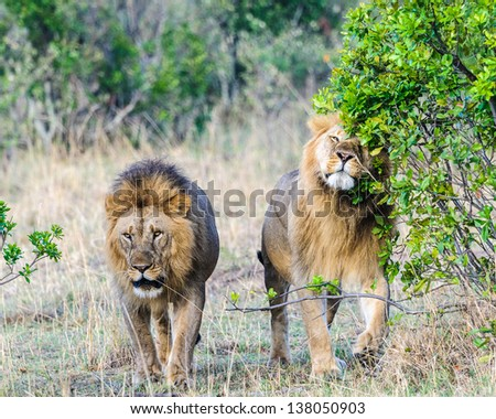 Lions walking together - photo#12