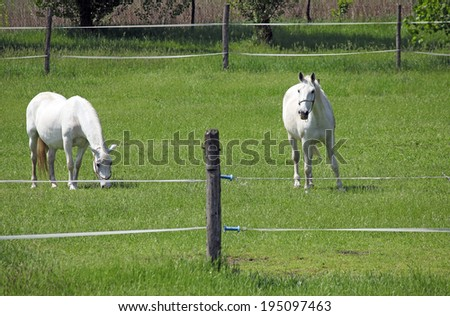 two Lipizzaner horse on field - stock photo