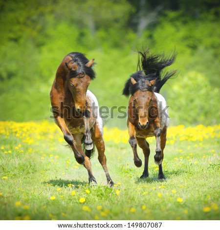 Two little appaloosa foals playing on the meadow in summer - stock photo