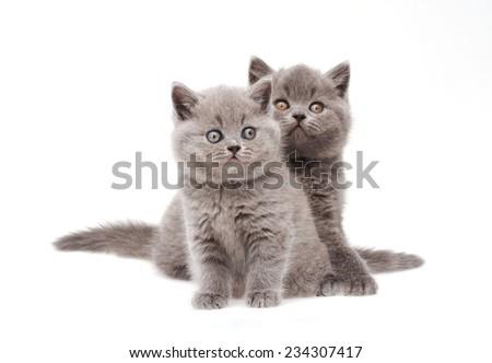 Two little british kittens  - stock photo