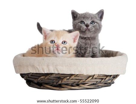 Two little british shorthair kittens cat isolated sitting in basket - stock photo