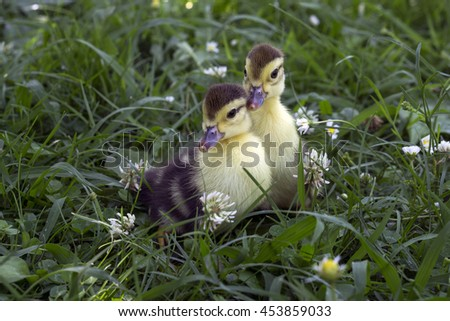 Two little duckling sitting in the tall green grass on the farm - stock photo