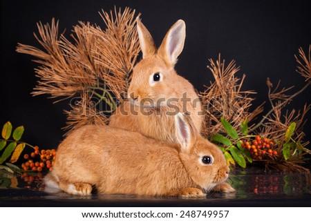 Two little dwarf rabbits in studio - stock photo