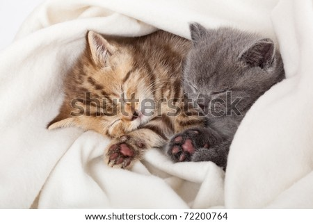 two little funny scottish fold kittens. isolated on a white background - stock photo