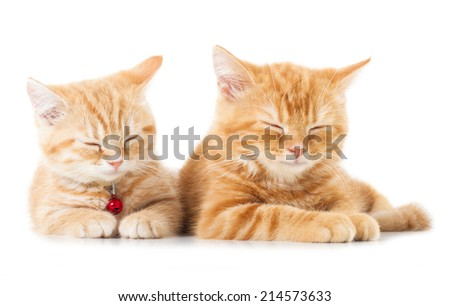Two little Ginger british shorthair cats over white background - stock photo