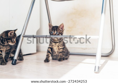 Two little grey tabby kittens playing together under a metal chair with one staring alertly over the top of the bar, with copyspace - stock photo