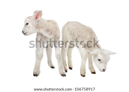 Two little lambs in front of a white background - stock photo