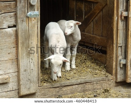 Two little lambs staying in the door in farm and waiting their farmer - stock photo