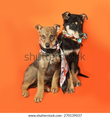 Two little puppy sitting on orange background - stock photo