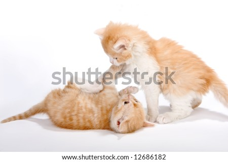 Two little red kittens having a play fight - stock photo