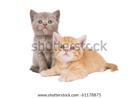 Two little sitting (lying) british shorthair kittens cat isolated - stock photo