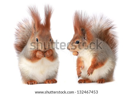 two little squirrel eats hazelnut on a white background - stock photo