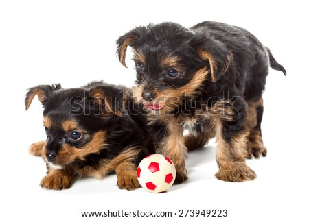 Two little Yorkshire Terrier puppy, toy ball, isolated on white background - stock photo