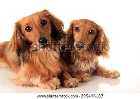 Two longhair dachshund, studio isolated on white.  - stock photo