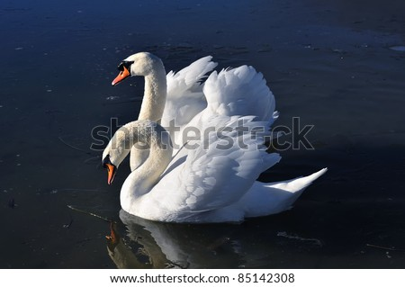 Two lovely swans on the frozen river - stock photo