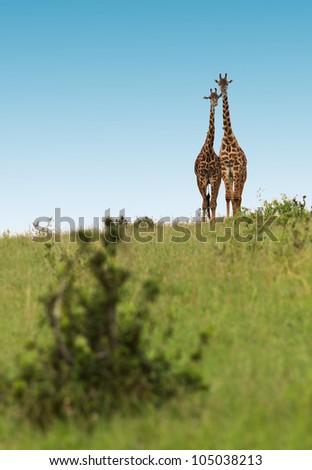 Two lovers giraffes in Masai Mara National Park - Kenya - stock photo