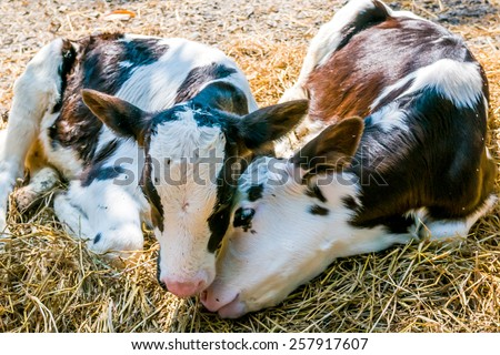 two loving cows - stock photo