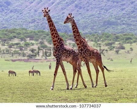 Two maasai giraffes in Crater Ngorongoro National Park - Tanzania - stock photo