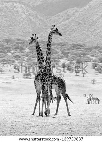 Two maasai giraffes in Crater Ngorongoro National Park - Tanzania (black and white) - stock photo