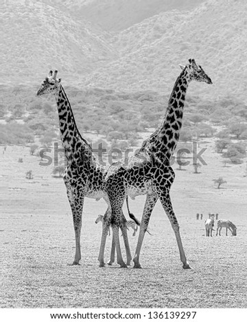 Two maasai giraffes in the Serengeti National Park - Tanzania, Eastern Africa (black and white) - stock photo