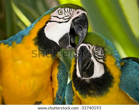 Two macaws posing to camera - stock photo