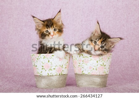 Two Maine Coon kittens sitting inside floral crackle pots on pink lilac background  - stock photo
