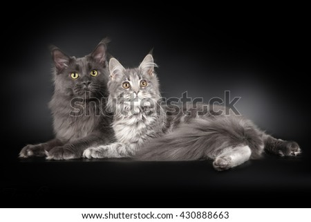 Two maine coons on black background - stock photo