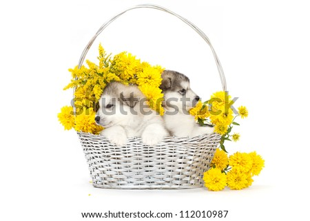 Two malamute puppies  in a flower basket over white - stock photo