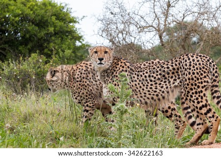 Two male, adult Cheetah walking through the bush, Acinonyx jubatus, in South Africa - stock photo