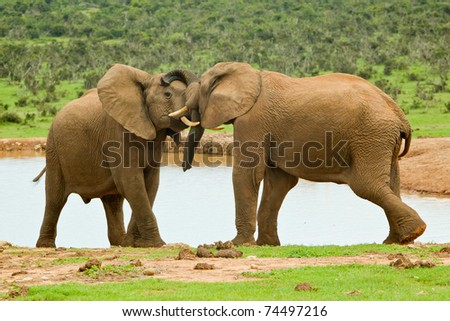 two male elephants playing at a water hole - stock photo