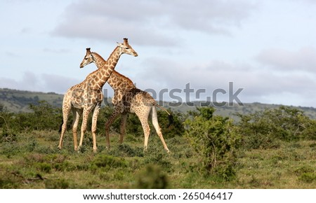 Two male giraffe neck fighting in this scenic nature image. - stock photo