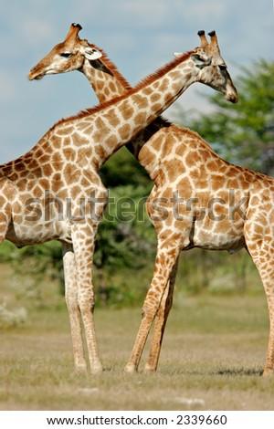 Two male giraffes (Giraffa camelopardalis), Etosha National Park, Namibia   - stock photo