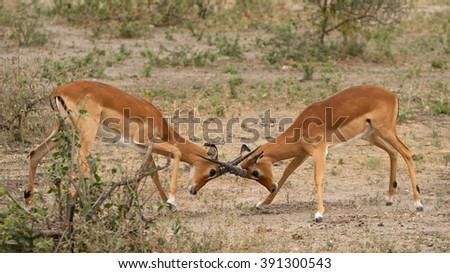 Two male impalas (Aepyceros melampus), locking horns in a fight for dominance, in the Serengeti, Tanzania - stock photo