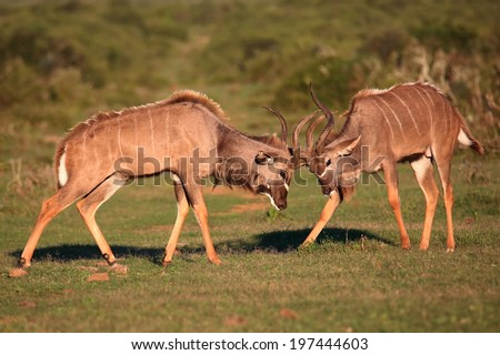 Two male kudu antelope with horns intertwined in a fight for dominance - stock photo