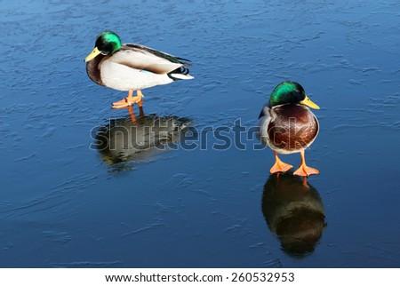Two male mallard (lat. Fulica atra) walking on thin ice - stock photo