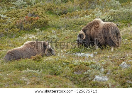 Two male musk oxen in Norway - stock photo