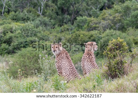 Two male, sitting adult Cheetah keeping watch and looking in opposite directions, Acinonyx jubatus, in South Africa - stock photo