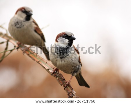 two male sparrows on a branch - stock photo