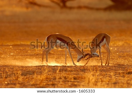 Two male springbok antelopes (Antidorcas marsupialis) fighting for territory, Kalahari, South Africa - stock photo