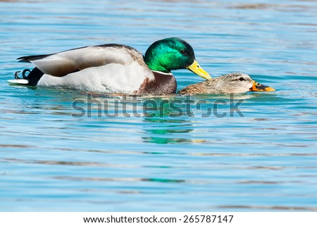 Two Mallards mating in the open water. - stock photo