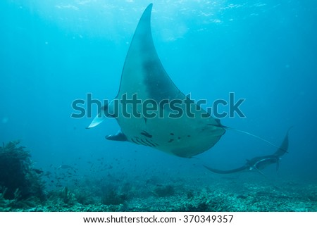 Two Manta Rays Swimming in a Circle Above us in clear Tropical Water - stock photo