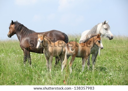 Two mares with two foals on green pasture - stock photo